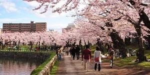 Sakura-Hokkaido-1